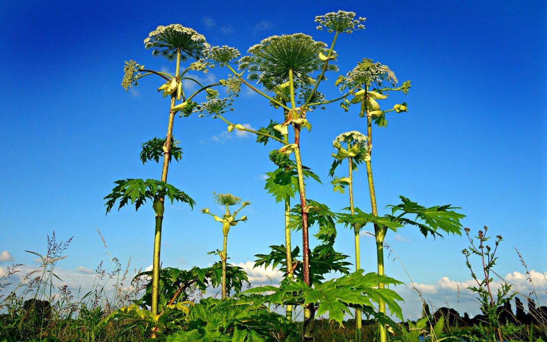 giant hogweed, invasive non native species