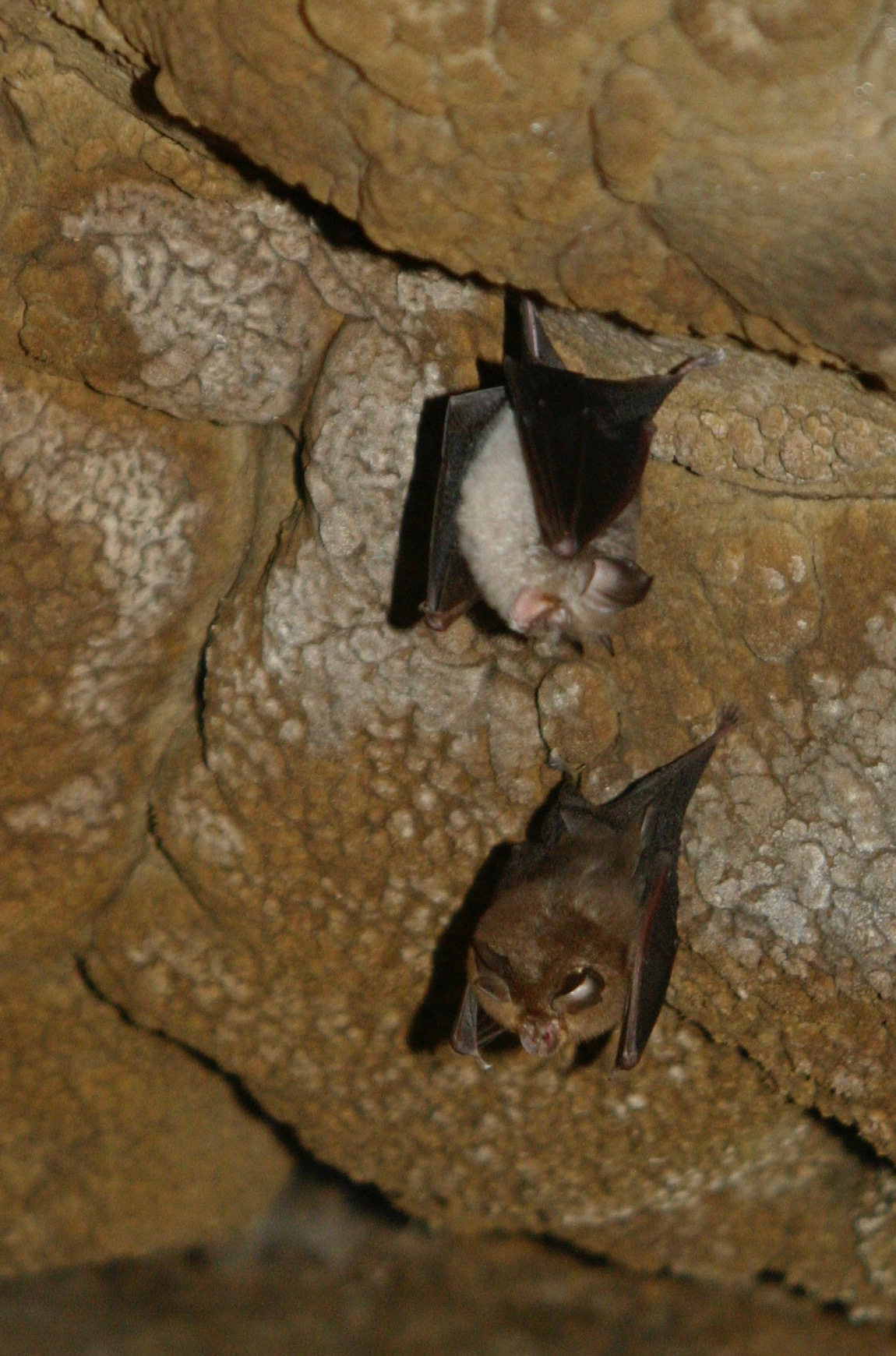 Bats, European Protected Species