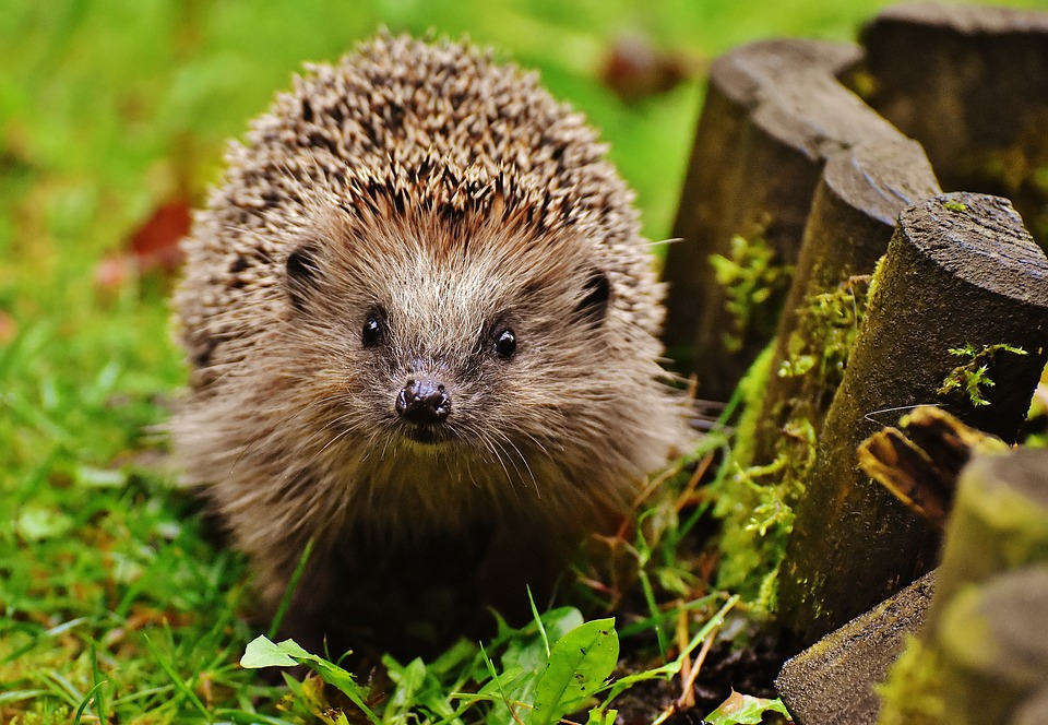 Where Have All The Hedgehogs Gone?
