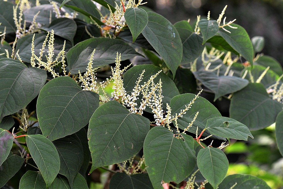 New Research on Japanese Knotweed