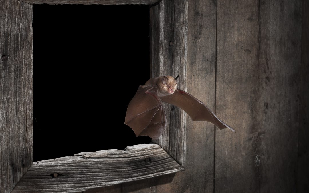 Greater horseshoe bat returns to Kent. Photograph: Dale Sutton/Bat Conservation Trust